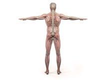 Kropp, huvud, skuldror och torso för mänsklig anatomivisningbaksida full Arkivfoton