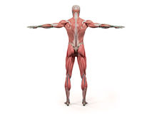Kropp, huvud, skuldror och torso för mänsklig anatomivisningbaksida full Royaltyfri Fotografi