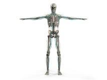 Kropp, huvud, skuldror och torso för mänsklig anatomivisningframdel full Arkivfoto