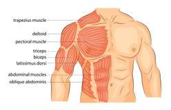 Kroppen för män s beväpnar skuldror bröstkorg och abs Arkivbilder
