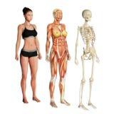 Kroppsystem royaltyfri illustrationer