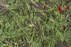 Krossade röda tulpan Royaltyfria Bilder