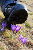 krossande blommor för båskrokus Royaltyfri Foto
