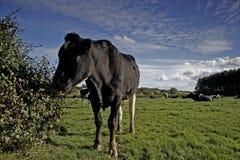 krowa łąka mleka Zdjęcia Royalty Free