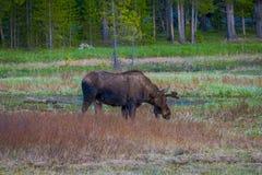 Krowa łosia amerykańskiego chrupanie na wierzbach w Yellowstone parku narodowym, Wyoming zdjęcie stock