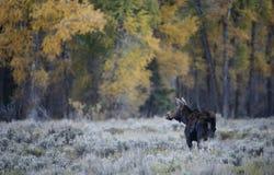 Krowa łosia amerykańskiego spadku krajobraz Obrazy Royalty Free