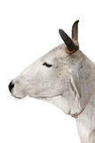 krowa święta Fotografia Royalty Free