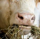 Krowa żuć obraz stock