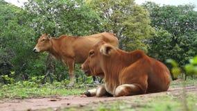 Krowa żuć trawy, macierzystej zwierzęcej pozyci zamknięty behin zbiory wideo