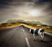 krowa zdjęcie royalty free