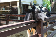 Krowa. Obrazy Stock