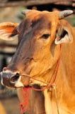 Krowa. Obrazy Royalty Free