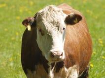 krowa Zdjęcia Stock