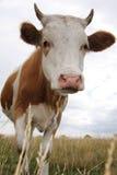 krowa Fotografia Royalty Free