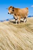 krowa zdjęcia royalty free