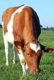 krowa obraz stock