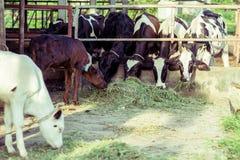 krowa Fotografia Stock