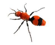 Krowa aksamita lub zabójcy mrówka w odosobniony makro- Obrazy Royalty Free
