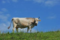 Krowa Allgäu Niemcy Zdjęcie Royalty Free