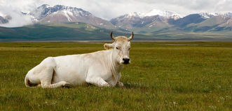 krowa biel Fotografia Stock
