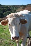 krowa biel Fotografia Royalty Free
