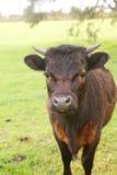 krowa ciekawa Obrazy Royalty Free