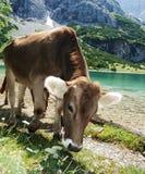 krowa ciekawa Fotografia Stock