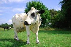 krowa ciekawska Obrazy Stock