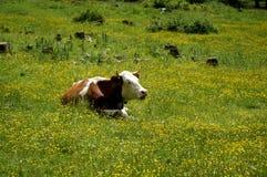 Krowa cieszy się lying on the beach w słońcu Fotografia Stock