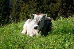 Krowa cieszy się lying on the beach w słońcu Zdjęcie Royalty Free