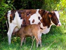 Krowa daje mleku Zdjęcie Royalty Free