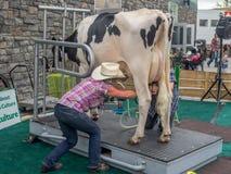 Krowa doju demonstracja przy Calgary paniką Obraz Stock