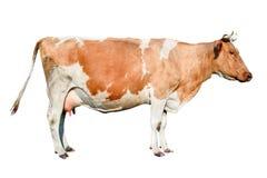 Krowa folująca długość Piękna młoda krowa odizolowywająca na bielu Śmieszny czerwieni i białego łaciasty krowa portreta zakończen Zdjęcie Royalty Free