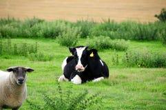 krowa fresian owce Zdjęcia Royalty Free