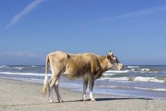 Krowa gapi się w kierunku morza od plaży Zdjęcia Royalty Free
