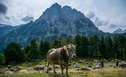 Krowa Hiszpania zdjęcie stock