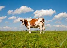 krowa holender Obrazy Stock