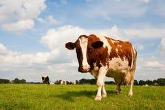 krowa holender Zdjęcia Royalty Free