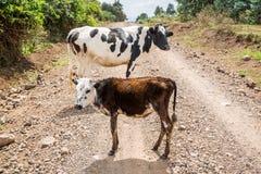Krowa i łydka po środku drogi gruntowej Zdjęcie Royalty Free