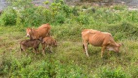 Krowa i łydki stroną rzeka w Kiriwong zdjęcie stock