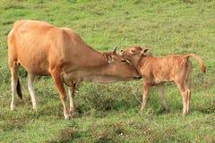 Krowa i Jej łydka Zdjęcia Royalty Free