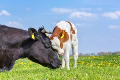 Krowa i nowonarodzony łydkowy uściśnięcie each inny w łące fotografia stock