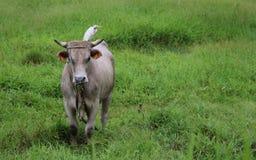 Krowa i ptak zdjęcie royalty free