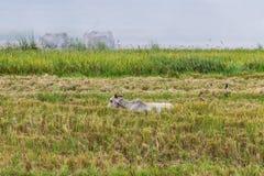 Krowa i ptaki w polu Obraz Royalty Free