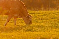 Krowa i trawa Zdjęcia Royalty Free