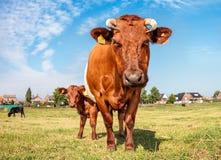 Krowa i łydka Zdjęcia Royalty Free