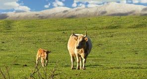 Krowa i łydka Zdjęcia Stock