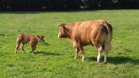 Krowa i łydka Obrazy Stock