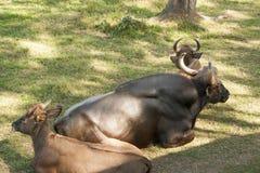 Krowa i łydkowy odpoczynkowy Villahermosa, Tabasco, Meksyk Fotografia Stock