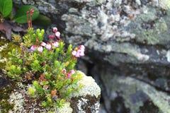 krowa jagodowi kwiaty Zdjęcia Royalty Free